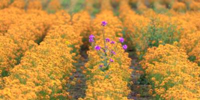 purple bloom in field of orange