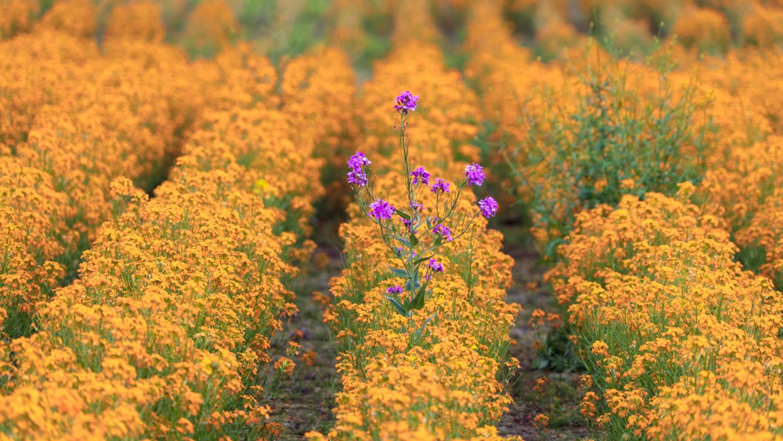 purple in field of orange
